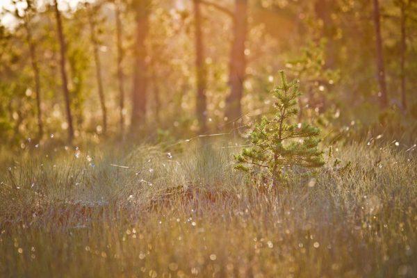 aamukaste metsässä